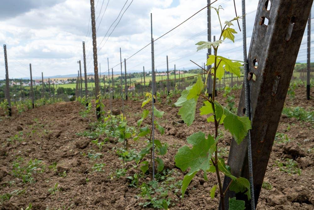 Jungpflanze Wein Erfurt